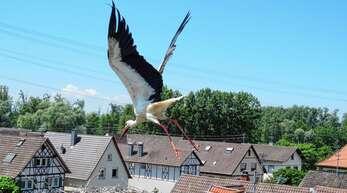Die Winkelstraße in Wittenweier kann Familie Storch künftig nicht mehr als Adresse angeben. Das Nest musste entfernt werden. Nun wird nach einem neuen Standort Ausschau gehalten.