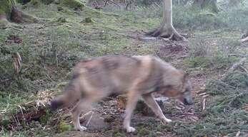 Dieses Foto von Ende April zeigt den Wolf im Bühler Stadtwald.