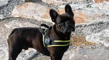 Hallo Orpheus, ich bin eine 6,5 Jahre alte französische Bulldogge aus Oberkirch. Mit meinem Frauchen habe ich deine Artikel über verschiedene Hunderassen gelesen, über den Labrador und den Dackel. Meinst du, du hättest auch mal Lust, über meine liebenswerte Rasse unter anderem als Familienhund, Herzensbrecher oder auch als Clown zu schreiben? Wir würden uns wirklich sehr freuen. Liebe Grüße Buster