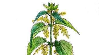 Zu Unrecht wird die Brennnessel als Unkraut geschmäht. Die Pflanze wird als Heilmittel bei vielerlei Leiden wie Rheuma, Gicht oder Blutarmut verwendet.