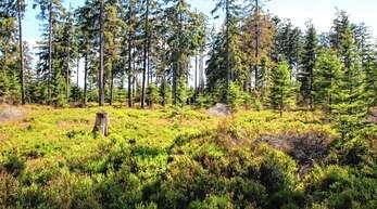 Idealer Lebensraum für das Auerwild sind lichte Waldstrukturen mit Heidelbeeren. Solche Flächen müssen erhalten und teils neu geschaffen werden.