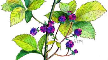 Der Brombeerstrauch ist häufig anzutreffen. Wer sich von den Dornen nicht abhalten lässt, kann aus den Beeren Marmelade und aus den Blättern Tee machen.