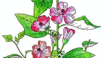Aus der Wurzel des Eibisch können unter anderem Marshmellows hergestellt werden.