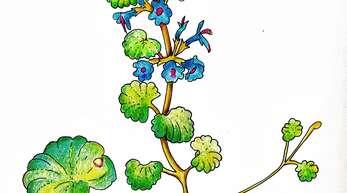 Die Gundelrebe blüht sehr früh im Jahr und eignet sich für eine aufbauende Frühjahrskur. Sowohl Tee als auch schmackhafte Suppen lassen sich aus ihr zubereiten.