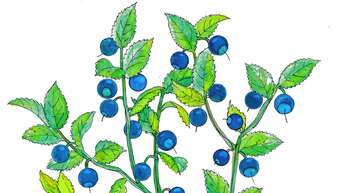 Die Heidelbeere schmeckt nicht nur, sie kann auch zur Behandlung von beispielsweise empfindlicher Haut verwendet werden.