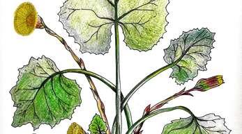 Der Huflattich ist nicht nur ein sonnengelber Frühlingsbote, er hilft auch gegen Erkrankungen der Atemwege.