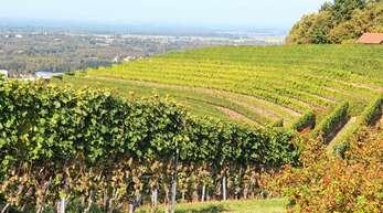 Der terrassierte Rebberg in Haslach: Die Bewirtschaftung ist für die Landschaftspflege wichtig.