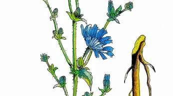 Die Wurzel und Blätter der Wegwarte werden in der Heilkunde verwendet. Die Pflanze kommt in ganz Europa vor und richtet sich nach der Sonne aus.