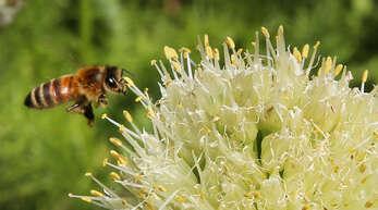 Das Bienen-Volksbegehrenim Südwesten stößt zunehmend auf Widerstand.