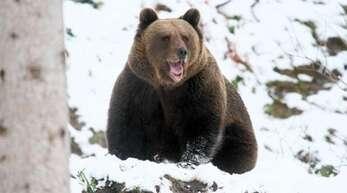 Seltener Anblick: In der kalten Jahreszeit lassen die Bären sich nur sehr selten sehen und liegen sonst faul in ihren Höhlen, um Winterruhe zu halten.