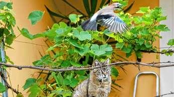 Angesichts einer zurückgehenden Vogelpopulation werden jagende Katzen in der Ortenau zusehends zum Problem.