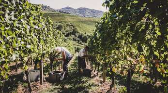 Mit Sorgfalt: Bei der Weinmanufaktur Gengenbach-Offenburg eG wird vornehmlich von Hand gelesen.