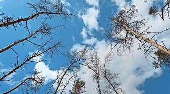 Die anhaltende Dürre lässt derzeit viele Bäume vertrocknen.