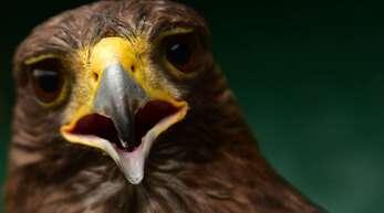 Bei Aufnahmen eines Hobbyfilmers bringt ein Adler eine Drohne zum Absturz (Symbolfoto).