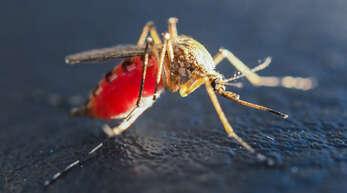 Weil es bislang recht trocken ist, entwickeln sich keine Schnakenlarven. Falls es Überschwemmungen gibt, wird die Kabs die Larven mit einem Eiweiß bekämpfen. Die Insekten stechen die Menschen, um Blut zu saugen.
