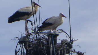 Der Storch auf dem Strommast; er baut beharrlich sein Nest. Und das E-Werk räumt es wieder ab.