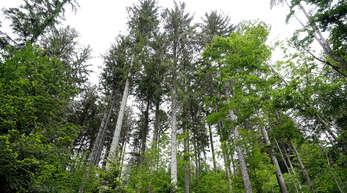 Wie es in den kommenden zehn Jahren im Schutterwälder Wald weitergehen soll wurde dem Gemeinderat mit dem Forsteinrichtungswerk vorgestellt.