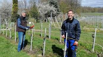 Bernhard Näger (links) und Patrik Falk, Aufsichtsratsmitglieder der WG Rammersweier, beim Anbringen der Pheromon-Ampullen in den Reben.