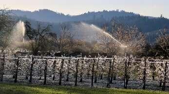 Kälteschutz der Obstbäume in Ortenberg mit Wasser.