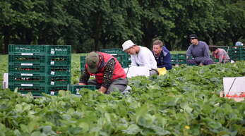 Teil seit über 25 Jahren arbeiten Erntehelfer aus Osteuropa im Renchtal. Dabei hat sich gezeigt, dass eine gute Bezahlung für den ganzen Betrieb gewinnbringend ist.