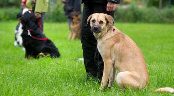 Führerschein für Hundehalter: Bei Experten aus der Ortenau findet er generell Zustimmung, auch wenn das Wie noch nicht geklärt ist.