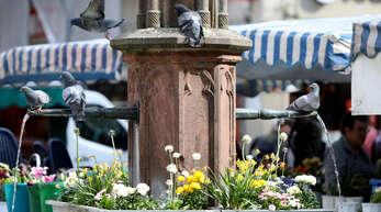 Tauben gehören zum Offenburger Stadtbild. Oftmals zieht es sie aufgrund des Nahrungsangebots in die Innenstadt, aber auch Brunnen sind als Wasserquelle attraktiv.