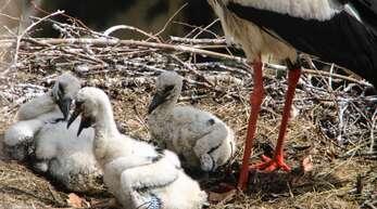 Im Nest auf der Hausacher Dorfkirche sind nur noch drei Storchenküken übrig.