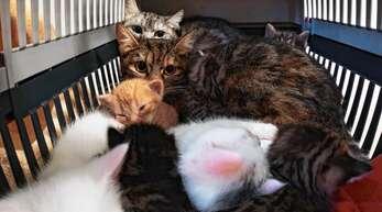 Außergewöhnliches Bild: Gleich zwei (offenbar befreundete) Katzen-Damen schmusen in einer Box mit einem Wurf erst wenige Wochen alter Kittys.