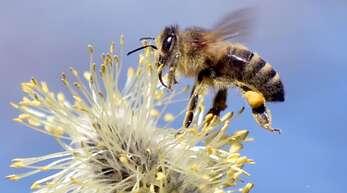 Bienen sind nicht nur für das Bestäuben von Blüten nützlich: Mit dem richtigen Training entdecken sie auch das Coronavirus. (Symbolbild)