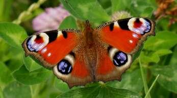 Das Tagpfauenauge gehört zu den Schmetterlingsarten, die von der Brennnessel abhängig sind.