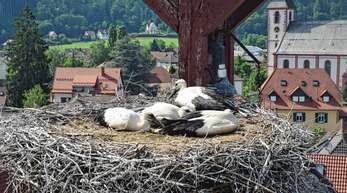 Der Storchenturm in Zell macht seinem Namen alle Ehre. Vier Jungvögel kauern hier im Nest und beäugen argwöhnisch die Besucher auf Augenhöhe.