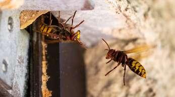 Wespen und Hornissen (Foto) sind streng geschützt: Der Ortenaukreis will den Wespen- und Hornissenbeauftragten fördern. Das ist ein Ergebnis des runden Tischs mit dem Naturschutzvertreter.