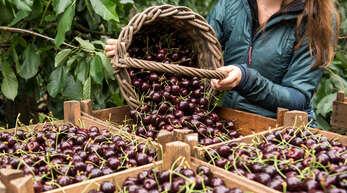 Die Kirschenernte in der Ortenau ist weitgehend abgeschlossen. Die Obstbauern kämpfen aktuell mit den Auswirkungen der Unwetter und mit den Kosten für Corona-Maßnahmen.