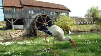 Auf Futtersuche ist dieser Weißstorch bei Ungersheim im Elsass. Die Zahl der langbeinigen Vögel ist in der französischen Grenzregion stark gestiegen. Rund 1500 genutzte Nester wurden gezählt.