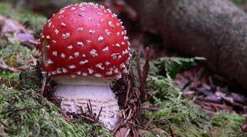 Einblicke in die faszinierende Welt der Pilze (hier ein Fliegenpilz aus dem Diersburger Wald) gibt es in der Diersburger Ausstellung.