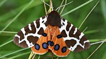 Brauner Bär heißt dieser Nachtfalter – er ist Schmetterling des Jahres 2021 und geht laut dem Staatlichen Museum für Naturkunde in Karlsruhe stark zurück.