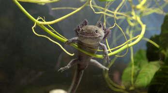 Julia Bächle mag ihre Axolotl aus unterschiedlichen Gründen. Einer davon ist, dass die Lurche immer zu lächeln scheinnen.