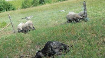 Das Heidschnuckenlamm lag am Mittwochmorgen tot im Gras vor dem Stall beim Müllerchristenhof im Gutacher Steinenbach – es fehlte eine Hinterkeule. Ob es von einem Luchs gerissen wurde, wird in der Forstlichen Versuchsanstalt in Freiburg aufgeklärt.