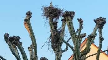 Nun hat sich in Gamshurst ein Storchenpaar auch auf einer Platane im Schulhof ein Nest gebaut. Die Ortsverwaltung überlegt, wie sie die Behausung der geschützten Tiere zum Wohl der Schulkinder umquartieren kann.