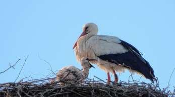 Mindestens zwei Küken wachsen im Nest auf der Alten Fabrik in Kürzell heran.