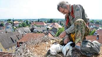 In luftiger Höhe beringten Gérard Mercier (Foto) und Paulette Gawron die Jungstörche im Hanauerland, wie hier an der Grundschule in Rheinbischofsheim.