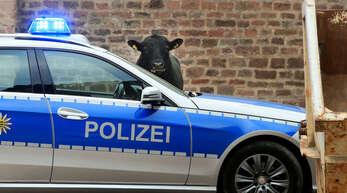 Bereits Anfang Oktober war in Offenburg ein Stier ausgebüxt. Auch dieser wurde wie der Jungbulle in Bühl schließlich erschossen.