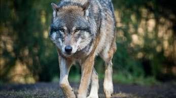 """Der Bund richtet eine Beratungs- und Dokumentationsstelle in Sachen """"Wolfsmanagement"""" ein."""