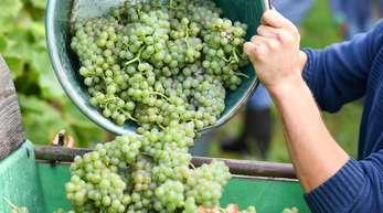 Trauben der frühreifen Sorte «Solaris». Die Weinlese steht unmittelbar bevor.