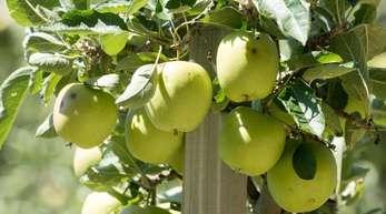 Der Bodensee ist neben dem Alten Land in Hamburg und Niedersachsen eines der wichtigsten Anbaugebiete für Äpfel in Deutschland.