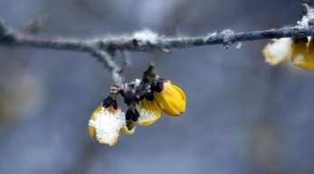 Verschneite Blüte einer Forsythie im Dortmunder Rombergpark. Ab dem 20. März steht die Sonne genau senkrecht über dem Äquator und wandert ab diesemTag nach Norden.