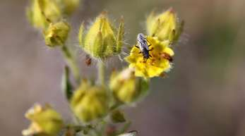 Die Nysius groenlandicus ernährt sich zum Beispiel von Pflanzensamen.