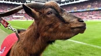 Muss mit dem 1. FC Köln wohl in die 2. Liga: Geißbock Hennes VIII.