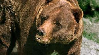 Grizzlys, die sich sehr langsam fortpflanzen, waren in den 1970er Jahren fast ausgerottet. Danach hatten sich die Bestände in Kontinentalamerika wieder auf rund 2000 Bären erholt.