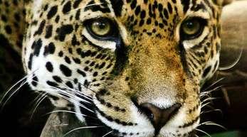 In Mexiko gibt es wieder mehr Exemplare der stark bedrohten Jaguare (Panthera onca). Derzeit gibt es laut WWFrund 4800 der Tiere in dem lateinamerikanischen Land.